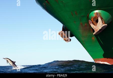 Dauphin commun à long bec (Delphinus capensis) violer en face de grand navire au cours de sardine run, East London, Afrique du Sud, Juin. Banque D'Images