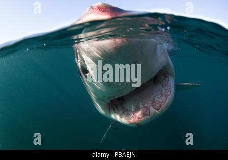 Grand requin blanc (Carcharodon carcharias) duplex vue, Nouvelle-Zélande, mars. Banque D'Images