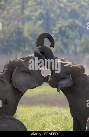 L'éléphant d'Asie (Elephas maximus) jeunes femmes jouer des combats. Jim Corbett National Park, Inde. 2014