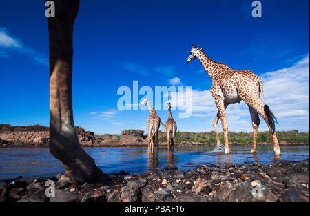 Maasai Girafe (Giraffa camelopardalis tippelskirchi) troupeau traversant la rivière Mara, Maasai Mara National Reserve, Kenya. Prises avec la caméra grand angle. Banque D'Images