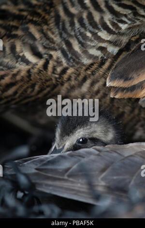 L'eider à duvet (Somateria mollissima) petit canard dans le nid, le bas est recueillie à partir de canards branchus nichent dans des refuges, Lanan Island. La Norvège, l'archipel Vvega Juin Banque D'Images