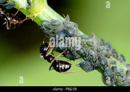 Jardin noir fourmis (Lasius niger) de l'agriculture' 'pour le puceron miellat sucré 'collant' ils sécrètent Banque D'Images