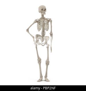 Les droits de l'homme squelette debout posent sur blanc. Vue de face. 3D illustration Banque D'Images