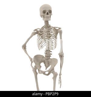 Squelette femelle précis médicaux posent debout sur blanc. Vue de face. 3D illustration Banque D'Images