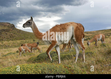 Guanacos (Lama guanicoe) après la pluie, le Parc National Torres del Paine, Patagonie, Chili, Amérique du Sud