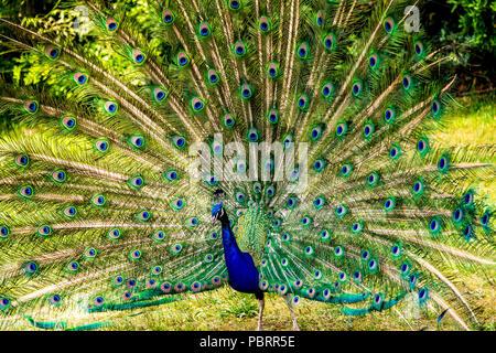 Peacock dans un parc à Paris, France