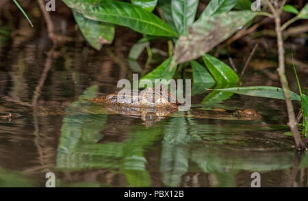 Cayman avec tête de l'eau dans une rivière au Costa Rica Banque D'Images