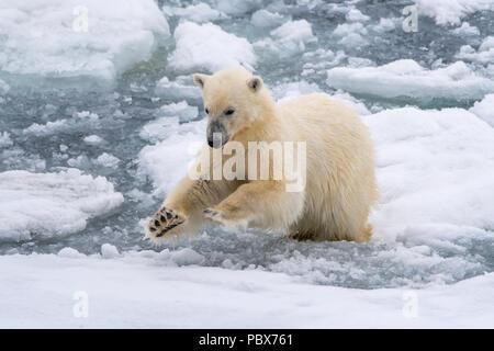 L'ours polaire (Ursus maritimus) sauter entre les blocs de glace flottante près de Svalbard, Norvège. Banque D'Images
