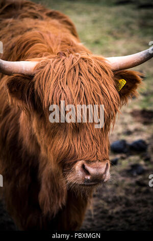 Vache Highland, Isle of Harris, Scotland, UK, Europe Banque D'Images