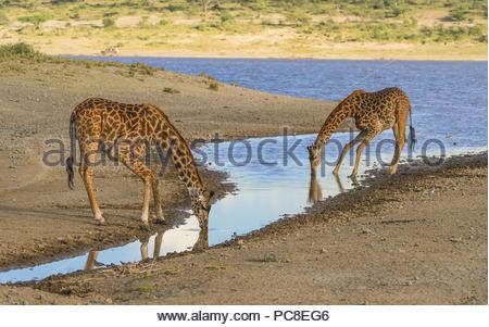 Deux Girafes Masaï, un adulte et un veau, accroupissez-vous à boire d'un étang. Banque D'Images