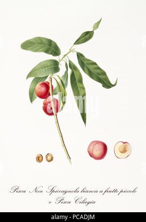 Deux petites pêches rouge lisse arrondie sur une seule branche et fruits isolés section et noyau. Ancien jardin botanique illustration détaillée de Giorgio Gallesio sur 1817, 1839 Banque D'Images