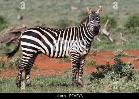 Zèbre des plaines (Equus quagga), Tsavo, Kenya, Afrique de l'Est, l'Afrique Banque D'Images