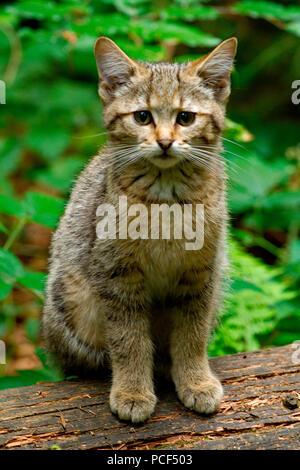 Chat Sauvage Européen, les jeunes, (Felis silvestris) Banque D'Images