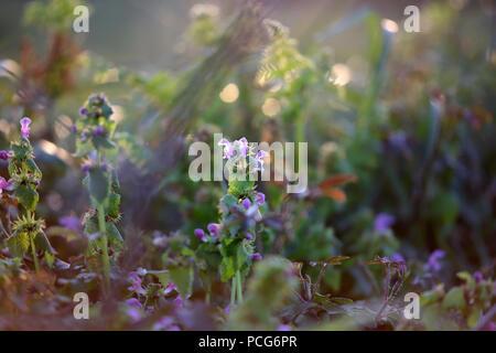 Pré vert avec fleurs d'ortie à la fin de la journée. Shallow DOF. Fond naturel. Banque D'Images