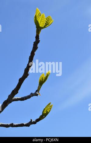 Close-up d'une direction générale de la Fig, Nature