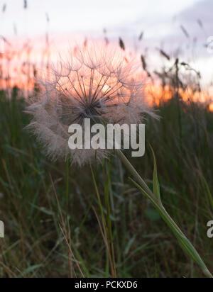 Gros plan d'une fleur de pissenlit séché ou puff ball avec l'herbe au premier plan et un ciel nuageux coucher du soleil dans l'arrière-plan. Banque D'Images
