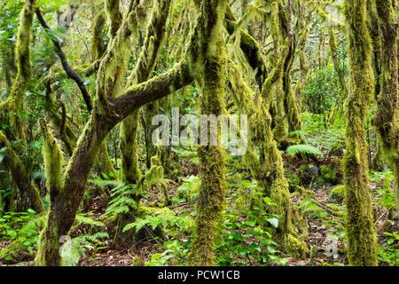 Les arbres moussus, forêt de lauriers dans le Parc National de Garajonay, La Gomera, Îles Canaries, Espagne