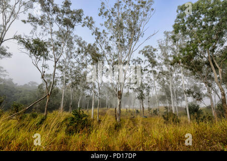 Morning Mist en gommiers, Biboorah, Atherton, Far North Queensland, Queensland, Australie, FNQ Banque D'Images