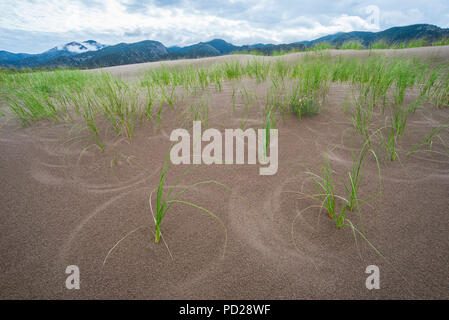Les herbes qui poussent sur les dunes de sable, les Great Sand Dunes National Park and Preserve, CO, USA, par Bruce Montagne/Dembinsky Assoc Photo