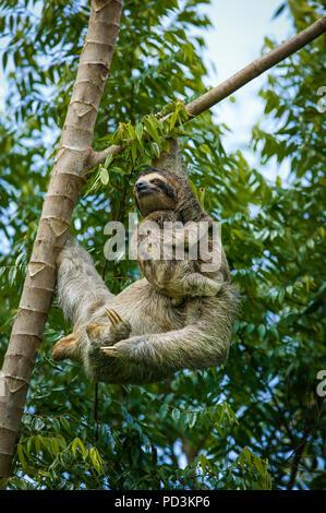 Trois-toed Sloth, Bradypus variegatus, la mère et les jeunes, dans la forêt tropicale au bord du lac Gatun, République du Panama. Banque D'Images