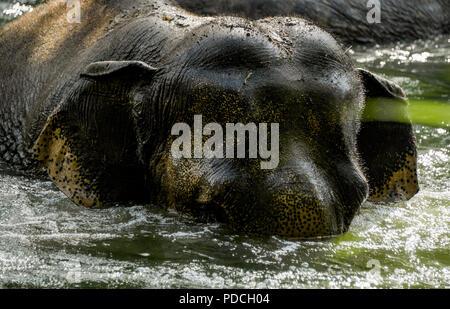 08 août 2018, l'Allemagne, Hambourg: Un Indien éléphant (Elephas maximus indicus) joue dans le zoo Hagenbeck dans un étang dans son boîtier dans l'eau. Les pachydermes se rafraîchir à la température chaude et ont de plus été comblé par l'animal keepers. Photo: Axel Heimken/dpa Banque D'Images