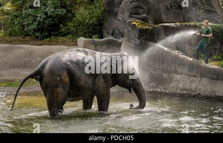 08 août 2018, l'Allemagne, Hambourg: éléphants indiens (Elephas maximus indicus) prendre un bain dans le zoo Hagenbeck dans un étang dans leur enceinte. Les pachydermes se rafraîchir à la température chaude et ont de plus été comblé par l'animal keepers. Photo: Axel Heimken/dpa Banque D'Images