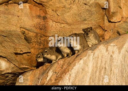 Un groupe de Bush ou la réchauffer Hyrax dans l'éclat du soleil matinal. Thermorégulateurs sont pauvres Hyrax et regulalry chercher sunshine ou s Banque D'Images