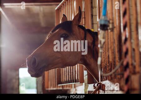 Belle course de chevaux brun debout dans grande stabilité Banque D'Images
