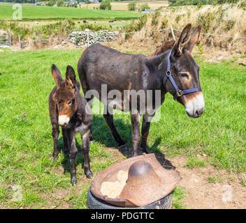 Equus asinus âne, mare et poulain