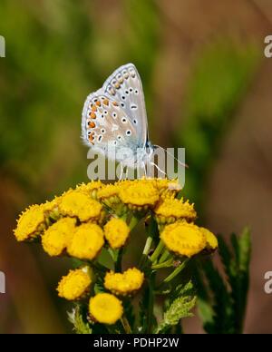 Mâle bleu commun sur le nectar. Hurst Meadows, East Molesey, Surrey, Angleterre.