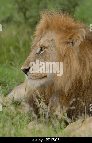 Côté Close up portrait of male lion lying in grass avec grande crinière, Kurger National Park, Afrique du Sud Banque D'Images