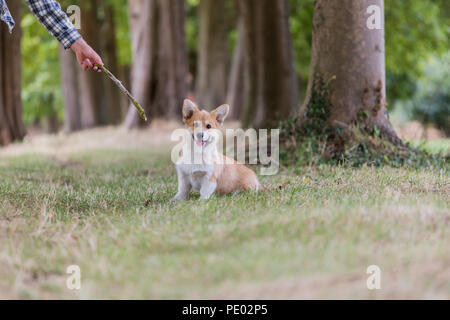 4 mois Welsh Corgi Pembroke chiot en promenade dans la campagne, Oxfordshire, UK