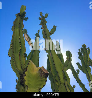 Low Angle View Of Cereus Peruvianus plantes arbres sur un ciel bleu. Succulentes cactus colonne jardin avec copie espace. Banque D'Images