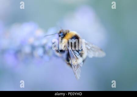 Les abeilles pollinisent la lavande Banque D'Images