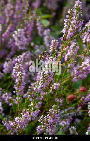 Bumblebee se nourrissant de Heather Banque D'Images