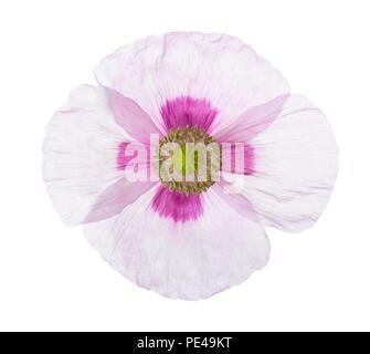 Coquelicot isolé sur fond blanc. Le pavot à opium (Papaver somniferum) Banque D'Images