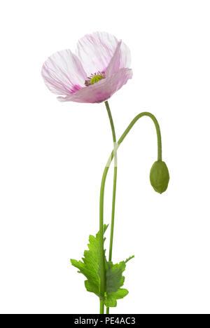 Fleur de pavot et bud isolé sur fond blanc. Le pavot à opium (Papaver somniferum) Banque D'Images