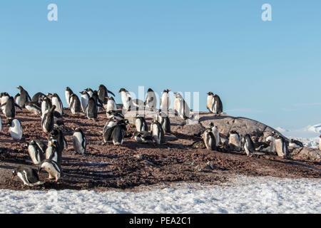 Grande colonie de manchots gentoo sur la côte de l'Antarctique