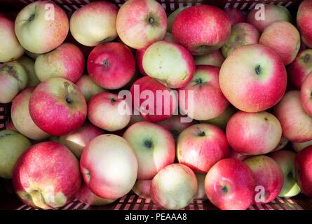 Malus domestica 'Découverte'. Les pommes récoltées 'Découverte' par le haut dans le plateau en plastique . UK Banque D'Images
