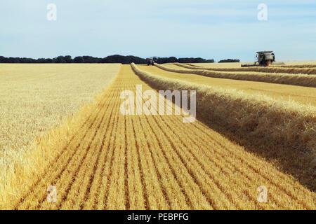 L'orge, champ, récolte, Harvester, machine, moissonneuse-batteuse, rendmt Lexion Claas 760, de l'agriculture, la récolte, le maïs, la récolte, la paille Banque D'Images