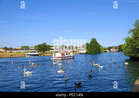Plaisir cruiser bateau et wildfowl sur la Tamise à Windsor, Berkshire, England, UK Banque D'Images