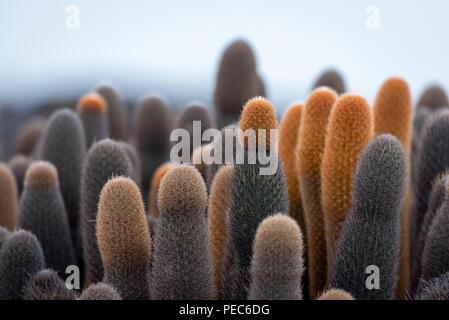 Les cactus de Galápagos