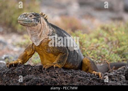 Iguane terrestre des Galapagos,