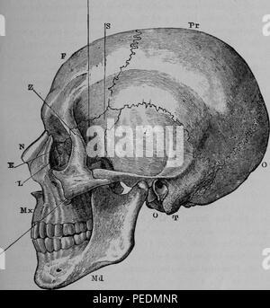 Noir et blanc illustrant une vue latérale sur le crâne humain, avec indicateurs alphabétique pointant vers l'os pariétal, occipital, Temporal bone, sphenoid os, l'os frontal, os malaire ou joue-os, os nasal, ethmoïde os, l'os lacrymal, l'os de la mâchoire supérieure et la mâchoire inférieure, d'os, 1884. Avec la permission de Internet Archive. () Banque D'Images