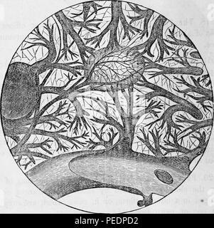 Photographie noir et blanc d'une petite partie de la rate, très fortement amplifié, montrant deux globules et les minutes de vaisseaux sanguins, publié dans Edward Hitchcock's 'Anatomie et physiologie élémentaires: pour des collèges, des académies, des écoles et autres, 1869. Avec la permission de Internet Archive. () Banque D'Images