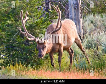 Wapiti dans le désert du Parc National de Grand Teton, Wyoming. Banque D'Images