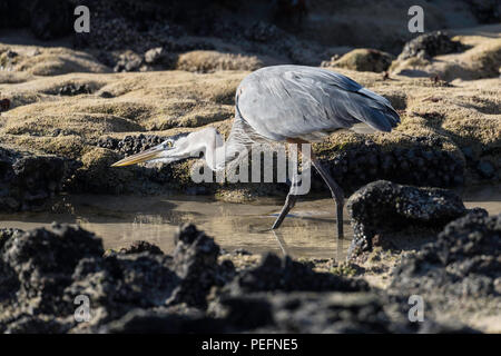 Un adulte Grand Héron, Ardea herodias , traque ses proies sur l'Île Floreana, Galapagos, Equateur. Banque D'Images