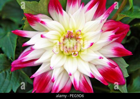 Un sorbet Dahlia cactus semi-moitié hardy flowering plant Banque D'Images