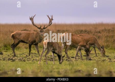 Mâle Red Deer (Cervus elaphus) gardiennage groupe d'animaux femelles pendant la saison des amours Banque D'Images