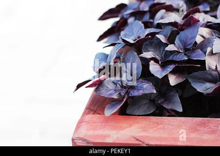 Feuilles de basilic pourpre frais en pot en bois sur fond blanc Banque D'Images